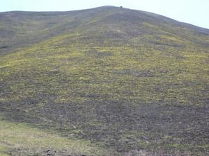 2-丘一面に黄スミレ